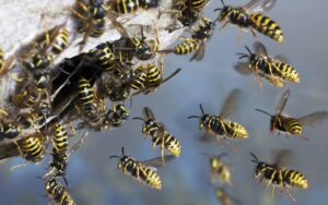 Wasp Control in Hobart at low cost - Local Pest Control Hobart